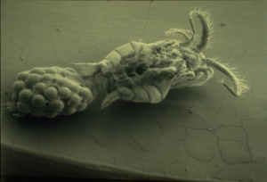 Cholera Virus