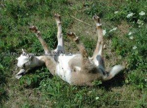 fainting_goats_640_02.jpg (640×471)