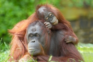 https://dhiez.files.wordpress.com/2012/04/12-orangutan_3445658.jpg?w=300